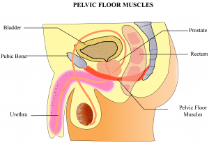 male pelvic floor muscles